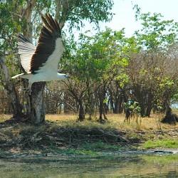 <b>White-bellied sea eagle (Haliaeetus leucogaster)</b> | Kamera: NIKON D70s | Brennweite: 70mm | Blende: ƒ/4.5 | Verschlusszeit: 1/1000s |