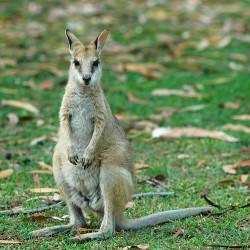 <b>Kangaroo</b> | Kamera: NIKON D70s | Brennweite: 155mm | Blende: ƒ/4 | Verschlusszeit: 1/250s |