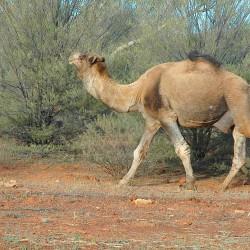 <b>Wild camel</b> | Kamera: NIKON D70s | Brennweite: 70mm | Blende: ƒ/11 | Verschlusszeit: 1/80s |