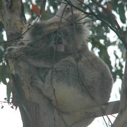 <b>Koala bear</b> | Kamera: NIKON D70s | Brennweite: 170mm | Blende: ƒ/7.1 | Verschlusszeit: 1/60s |