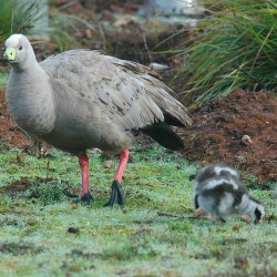 <b>Cape Barren Geese, Flinders Chase National Park, Kangaroo Island</b> | Kamera: NIKON D70s | Brennweite: 210mm | Blende: ƒ/7.1 | Verschlusszeit: 1/100s |