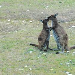 <b>Kangaroos on Kangaroo Island</b> | Kamera: NIKON D70s | Brennweite: 70mm | Blende: ƒ/6.3 | Verschlusszeit: 1/60s |