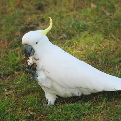<b>Sulphur-crested cockatoo, Melbourne</b> | Kamera: NIKON D70s | Brennweite: 210mm | Blende: ƒ/4 | Verschlusszeit: 1/400s |