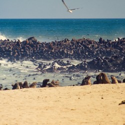 <b>Brown fur seals [Arctocephalus pusillus], Cape Cross Seal Reserve</b> | Kamera: NIKON D700 |  |  | Verschlusszeit: 1/100s | ISO: 200