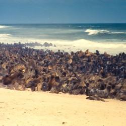 <b>Brown fur seals [Arctocephalus pusillus], Cape Cross Seal Reserve</b> | Kamera: NIKON D700 |  |  | Verschlusszeit: 1/125s | ISO: 200
