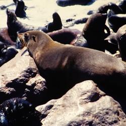 <b>Brown fur seal [Arctocephalus pusillus], Cape Cross Seal Reserve</b> | Kamera: NIKON D700 |  |  | Verschlusszeit: 1/80s | ISO: 200