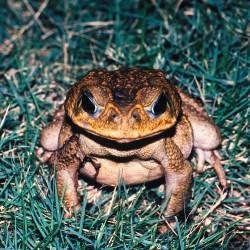 <b>Cane toad [Rhinella marina]</b> | Kamera: NIKON D700 |  |  | Verschlusszeit: 1/13s | ISO: 200