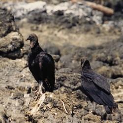 <b>Black Vulture [Coragyps atratus]</b> | Kamera: NIKON D700 |  |  | Verschlusszeit: 1/60s | ISO: 200
