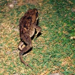<b>Jumping Cane toad [Rhinella marina]</b> | Kamera: NIKON D700 |  |  | Verschlusszeit: 1/100s | ISO: 200