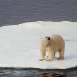 <b>Polar bear west of Svalboard</b> | Kamera: NIKON D700 |  |  | Verschlusszeit: 1/100s | ISO: 200