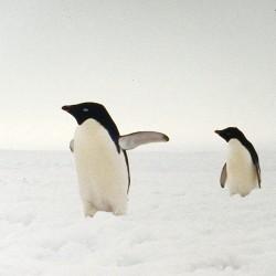 <b>Adelie penguins, Antarctica</b> | Kamera: NIKON D700 |  |  | Verschlusszeit: 1/50s | ISO: 200