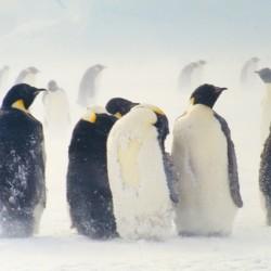 <b>Emperor penguins, Antarctica</b> | Kamera: NIKON D700 |  |  | Verschlusszeit: 1/60s | ISO: 200