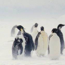 <b>Emperor penguins, Antarctica</b> | Kamera: NIKON D700 |  |  | Verschlusszeit: 1/40s | ISO: 200