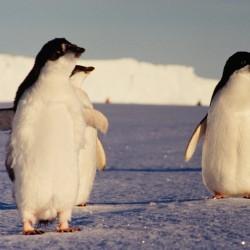 <b>Adelie penguins, Antarctica</b> | Kamera: NIKON D700 |  |  | Verschlusszeit: 1/80s | ISO: 200
