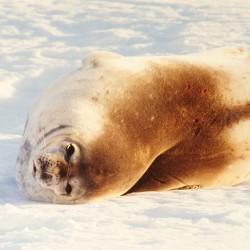 <b>Fur seal at Drescher Inlet, Antarctica</b> | Kamera: NIKON D700 |  |  | Verschlusszeit: 1/80s | ISO: 200