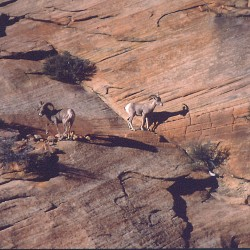 <b>Ibex at Zion National Park</b> |  |  |  |  |