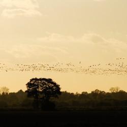 <b>Zugvögel über den Wümmewiesen</b> | Kamera: NIKON D700 | Brennweite: 150mm | Blende: ƒ/8 | Verschlusszeit: 1/4000s | ISO: 200