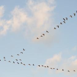 <b>Graugänse fliegen wie eine Eins :-)</b> | Kamera: NIKON D700 | Brennweite: 150mm | Blende: ƒ/8 | Verschlusszeit: 1/320s | ISO: 200