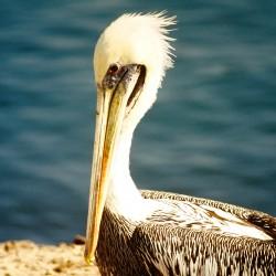 <b>Pelican</b> | Kamera: NIKON D700 |  |  | Verschlusszeit: 1/80s | ISO: 200