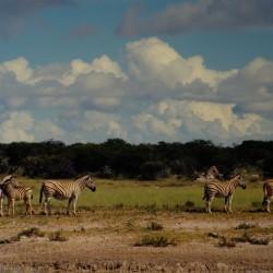 <b>Plains zebras, Etosha National Park</b> | Kamera: NIKON D700 |  |  | Verschlusszeit: 1/320s | ISO: 200