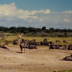 <b>Wildebeests, Etosha National Park</b> | Kamera: NIKON D700 |  |  | Verschlusszeit: 1/200s | ISO: 200