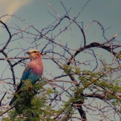 <b>Lilac-breasted Roller [Coracias caudatus], Gabelracke, Etosha National Park</b> | Kamera: NIKON D700 |  |  | Verschlusszeit: 1/400s | ISO: 200