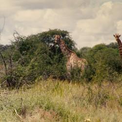 <b>Giraffes, Etosha National Park</b> | Kamera: NIKON D700 |  |  | Verschlusszeit: 1/160s | ISO: 200