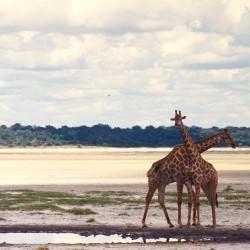 <b>Giraffes, Etosha Pan, Etosha National Park</b> | Kamera: NIKON D700 |  |  | Verschlusszeit: 1/100s | ISO: 200