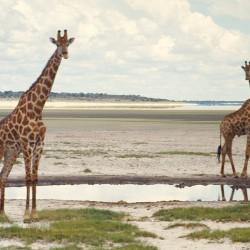 <b>Giraffes, Etosha National Park</b> | Kamera: NIKON D700 |  |  | Verschlusszeit: 1/80s | ISO: 200