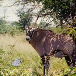 <b>Oryx antelope, Etosha National Park</b> | Kamera: NIKON D700 |  |  | Verschlusszeit: 1/80s | ISO: 200