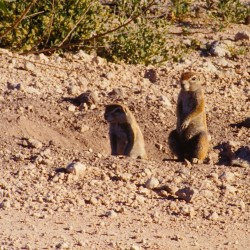 <b>Ground squirrels, Etosha National Park</b> | Kamera: NIKON D700 |  |  | Verschlusszeit: 1/125s | ISO: 200