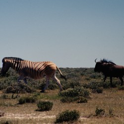 <b>Plains zebra and wildebeest, Etosha National Park</b> | Kamera: NIKON D700 |  |  | Verschlusszeit: 1/100s | ISO: 200