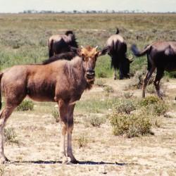 <b>Wildebeests, Etosha National Park</b> | Kamera: NIKON D700 |  |  | Verschlusszeit: 1/50s | ISO: 200