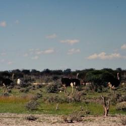 <b>Ostriches, Etosha National Park</b> | Kamera: NIKON D700 |  |  | Verschlusszeit: 1/125s | ISO: 200