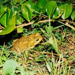 <b>Toad, Tortuguero National Park</b> | Kamera: NIKON D700 |  |  | Verschlusszeit: 1/100s | ISO: 200