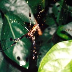 <b>Golden Orb Spider [Nephila clavipes] ?, Tortuguero National Park</b> | Kamera: NIKON D700 |  |  | Verschlusszeit: 1/8s | ISO: 200