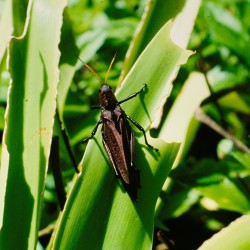 <b>Giant Red-winged grasshopper [Tropidacris cristata], Tortuguero National Park</b> | Kamera: NIKON D700 |  |  | Verschlusszeit: 1/60s | ISO: 200