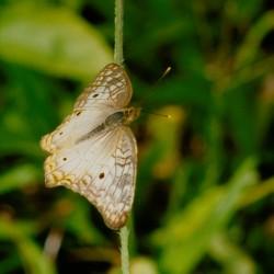 <b>Butterfly, Tortuguero National Park</b> | Kamera: NIKON D700 |  |  | Verschlusszeit: 1/100s | ISO: 200