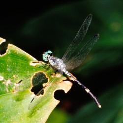 <b>Dragonfly, Cahuita National Park</b> | Kamera: NIKON D700 |  |  | Verschlusszeit: 1/25s | ISO: 200