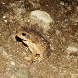 <b>Cane Toad @ Mar y Cielo, Montezuma</b> | Kamera: NIKON D700 |  |  | Verschlusszeit: 1/60s | ISO: 200