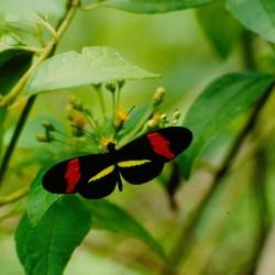 <b>Small Postman Butterfly [Heliconius erato]</b> | Kamera: NIKON D700 |  |  | Verschlusszeit: 1/60s | ISO: 200