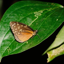 <b>Tiger Longwing Butterfly [Heliconius hecale]</b>   Kamera: NIKON D700         Verschlusszeit: 1/160s   ISO: 200