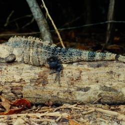 <b>Black spiny-tailed iguana (Ctenosaura similis), Manuel Antonio National Park</b> | Kamera: NIKON D700 |  |  | Verschlusszeit: 1/200s | ISO: 200