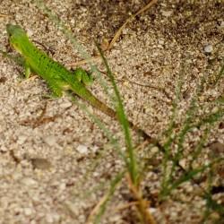 <b>Green lizard</b> | Kamera: NIKON D700 |  |  | Verschlusszeit: 1/80s | ISO: 200