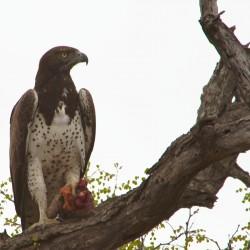 <b>Martial eagle (Polemaetus bellicosus)</b> | Kamera: NIKON D610 | Brennweite: 1000mm | Blende: ƒ/13 | Verschlusszeit: 1/60s | ISO: 200