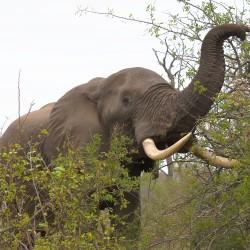 <b>African elephant (Loxodonta africana)</b> | Kamera: NIKON D610 | Brennweite: 90mm | Blende: ƒ/7.1 | Verschlusszeit: 1/160s | ISO: 200
