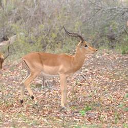 <b>Impala (Aepyceros melampus)</b> | Kamera: NIKON D610 | Brennweite: 180mm | Blende: ƒ/7.1 | Verschlusszeit: 1/160s | ISO: 200
