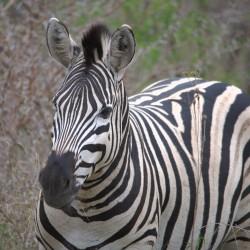 <b>Plains zebra (Equus quagga burchellii)</b> | Kamera: NIKON D610 | Brennweite: 500mm | Blende: ƒ/7.1 | Verschlusszeit: 1/125s | ISO: 200
