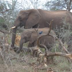 <b>African elephant (Loxodonta africana)</b> | Kamera: NIKON D610 | Brennweite: 95mm | Blende: ƒ/7.1 | Verschlusszeit: 1/50s | ISO: 200