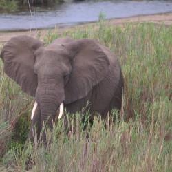 <b>African elephant (Loxodonta africana)</b> | Kamera: NIKON D610 | Brennweite: 500mm | Blende: ƒ/6.3 | Verschlusszeit: 1/100s | ISO: 200